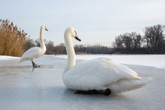 Пары лебедя Стоковые Фото