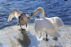 Пары лебедя Whooper (Cygnus Cycnus) совместно на льде fr Стоковые Изображения