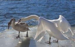 Пары лебедя Whooper (Cygnus Cycnus) совместно на льде fr Стоковое Изображение RF
