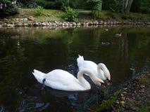 Пары еды лебедей Стоковые Фото