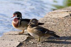 Пары деревянной утки озером Стоковые Изображения RF