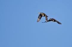 Пары деревянных уток летая в голубое небо Стоковое Изображение