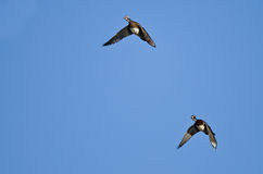 Пары деревянных уток летая в голубое небо Стоковые Фотографии RF