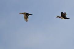 Пары деревянных уток летая в голубое небо Стоковая Фотография