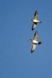 Пары деревянных уток летая в голубое небо Стоковое Изображение RF
