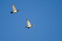 Пары деревянных уток летая в голубое небо Стоковое фото RF