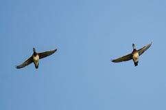 Пары деревянных уток летая в голубое небо Стоковые Изображения RF