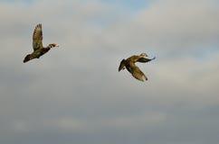 Пары деревянных уток летая в пасмурный Sk Стоковые Изображения RF