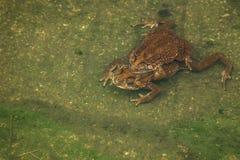 Пары жабы в жабе размножения воды делая яичка в воде Стоковые Изображения