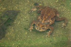 Пары жабы в жабе размножения воды делая яичка в воде Стоковое фото RF