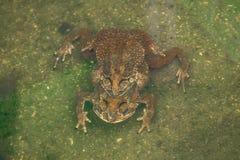 Пары жабы в жабе размножения воды делая яичка в воде Стоковые Фотографии RF