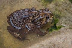 Пары жабы в жабе размножения воды делая яичка в воде Стоковые Фото