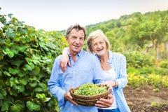 Пары жать виноградины Стоковые Изображения RF