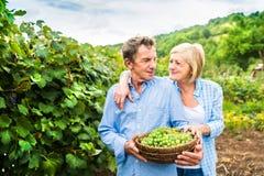 Пары жать виноградины Стоковые Фотографии RF