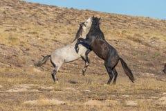 Пары жеребцов дикой лошади воюя в пустыне Юты Стоковое фото RF