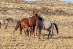 Пары жеребцов дикой лошади воюя в пустыне Стоковое Изображение