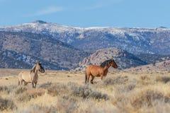 Пары жеребцов дикой лошади в пустыне Юты Стоковое Изображение