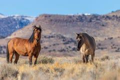 Пары жеребцов дикой лошади в пустыне Стоковое фото RF