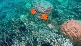 Пары желтых рыб бабочки подводных акции видеоматериалы