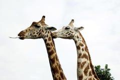 Пары жирафа в зоопарке, сафари, или парке сафари, Англии Стоковые Изображения