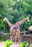 Пары жирафа в зоопарке Стоковое Изображение RF