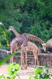 Пары жирафа в зоопарке Стоковые Изображения