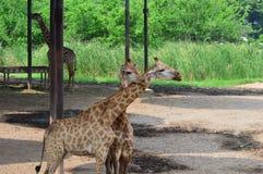 Пары жирафа в зоопарке Стоковые Изображения RF