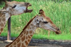 Пары жирафа в зоопарке Стоковые Фото