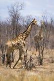 Пары жирафа в национальном парке Kruger Стоковые Изображения RF