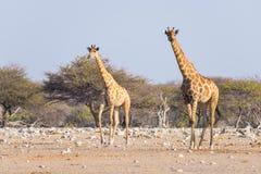 Пары жирафа идя в куст на лотке пустыни, дневном свете Сафари в национальном парке Etosha, главным образом перемещение de живой п Стоковое фото RF
