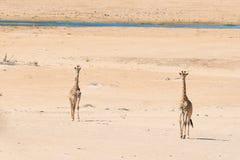 Пары жирафа идя в куст на лотке пустыни, дневном свете Сафари в национальном парке Etosha, главным образом перемещение de живой п Стоковые Фотографии RF