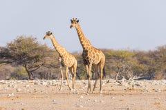 Пары жирафа идя в куст на лотке пустыни, дневном свете Сафари в национальном парке Etosha, главным образом перемещение de живой п Стоковое Фото