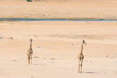 Пары жирафа идя в куст на лотке пустыни, дневном свете Сафари в национальном парке Etosha, главным образом перемещение de живой п Стоковые Изображения