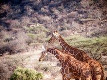 Пары жирафа на африканской саванне в Кении Стоковые Фотографии RF