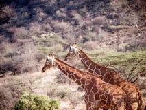 Пары жирафа на африканской саванне в Кении Стоковая Фотография RF