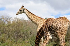 Пары жирафа пася Стоковые Фотографии RF