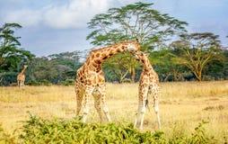 Пары жирафа прижимаясь друг с другом в Кении, Африке Стоковые Фотографии RF