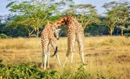 Пары жирафа прижимаясь друг с другом в Кении, Африке Стоковое фото RF