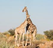 Пары жирафа Стоковая Фотография