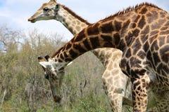 Пары жирафа Стоковые Изображения RF