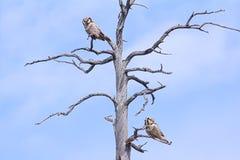Пары запертых сычей во время образования пар Сопрягая поведение в лесе Lappish Стоковая Фотография RF