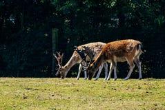 Пары запятнанных мужских оленей Стоковая Фотография