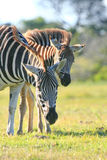 Пары зебры Стоковые Фотографии RF