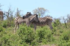 Пары зебры Стоковое Изображение