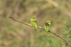 Пары зеленых едоков пчелы сидя на ветви Стоковые Фото