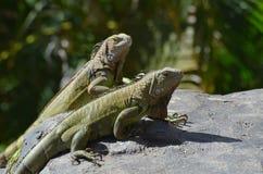 Пары зеленых игуан с длинными Talons Стоковое Изображение