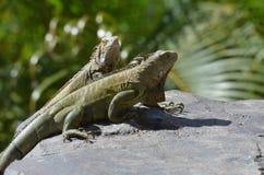 Пары зеленых ящериц в Аруба на утесе совместно Стоковая Фотография