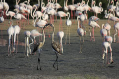 Пары играть молодые фламингоы Стоковые Изображения