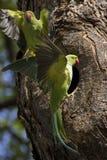 Пары длиннохвостого попугая Стоковое фото RF