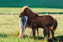 Пары исландских лошадей Стоковые Фото